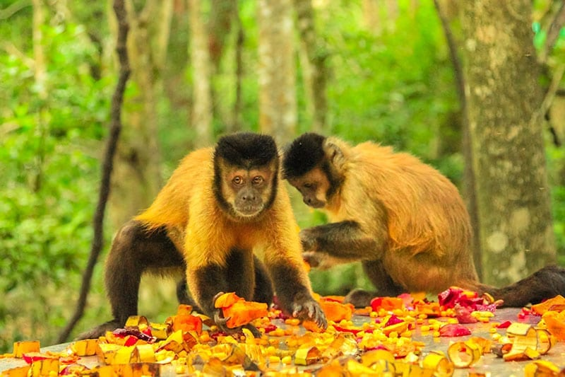 Researchers examined how oxytocin affects social bonds among tufted capuchin monkeys, like this pair enjoying a snack in a woodland setting.