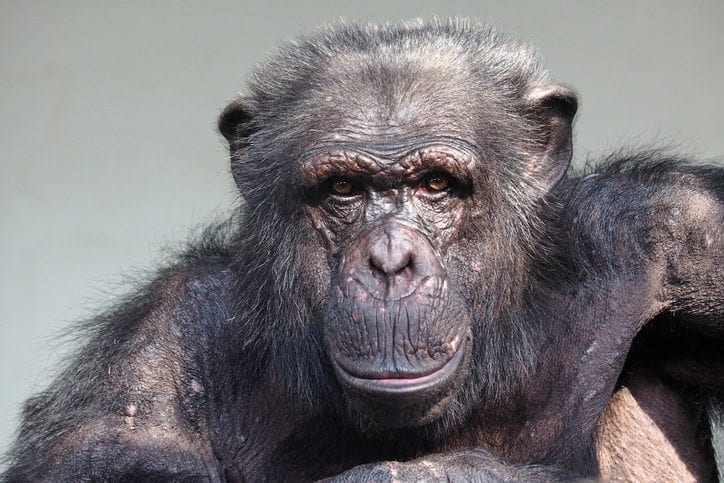 Chimpanzee portrait, appears to be aging. He's staring directly at the camera.