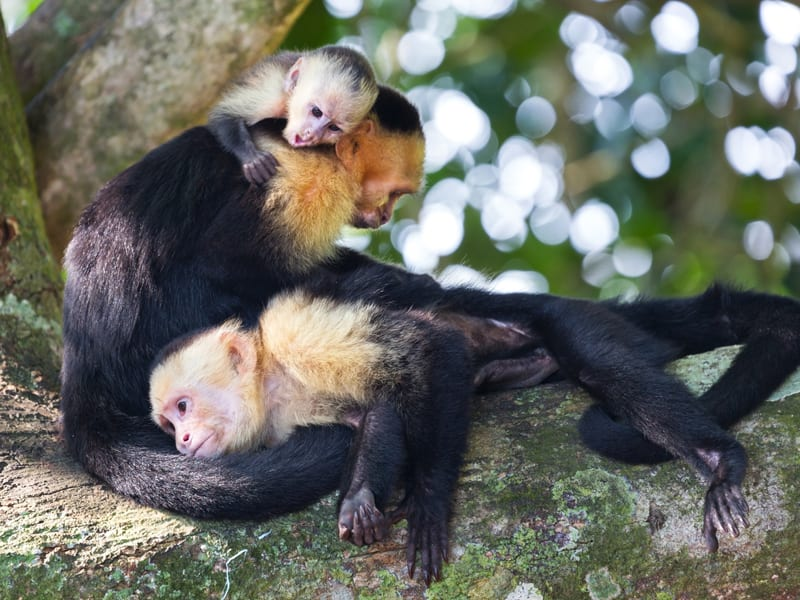 The image shows a group of capuchin moneys gathered together on a tree limb.